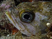 Sebastes atrovirens (Kelp Rockfish)