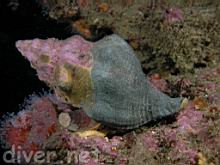 Kelletia kelletii (Kellet's Whelk)