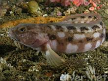 Rathbunella hypoplecta (Stripefin Ronquil, Smooth Ronquil)